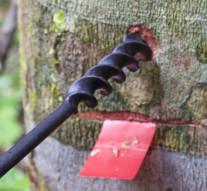 Novo anti-inflamatório feito a partir do óleo de copaiba extraído da Amazônia.